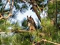 Long-eared owl in Central Park (50608).jpg