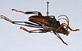 Longhorn Beetle (Mastododera lateralis) (8562630974).jpg