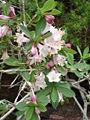 Lonicera pyrenaica1b.UME.jpg