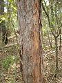 Lophostemon bark.jpg