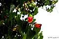 Los tonos florales, incomparables - panoramio.jpg
