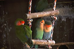 Lovebirds in captivity-6a (1)