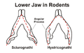 Lower Jaw in Rodents.png