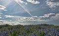 Lupin Hill (5840216224) (2).jpg