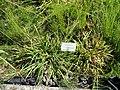Luzula pilosa - Botanical Garden, University of Frankfurt - DSC02740.JPG