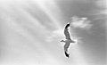 Måke - Seagull (1961) (15032125915).jpg