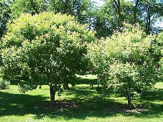 Maackia amurensis - Maackia amurensis at Morton Arboretum