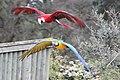 Macaw - Woburn Safari Park (4555590148).jpg