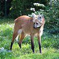 Maehnenwolf Chrysocyon brachyurus Tierpark Hellabrunn-11.jpg