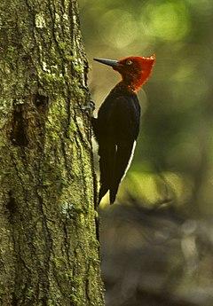 240px magellanic woodpecker   tierra fuego