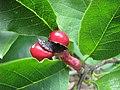 Magnolia kobus var borealis Magnolia japońska 2011-09-11 05.jpg