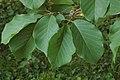 Magnolia sprengeri 'Diva' Leaves 3008px.jpg