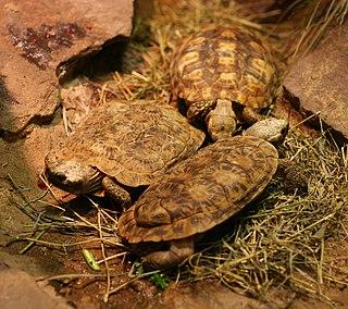 Pancake tortoise species of reptile