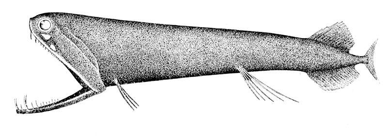 File:Malacosteus niger.jpg