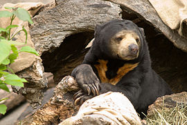 Malayan Sun Bear - Oregon Zoo.jpg
