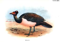 Maleo bird