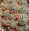 Mammillaria prolifera (26413016063).jpg