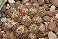 Mammillaria prolifera 0zz.jpg