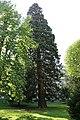 Mammutbaum, Marchetstraße Baden 03.jpg