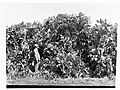 Man standing in a field of prickly pear(GN13411).jpg