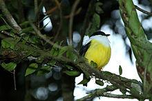 Manacus candei -La Selva Biological Station, Costa Rica -male-8.jpg