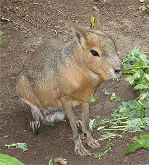 Mara (mammal) - A male mara