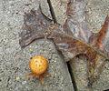 Marbled Orb Weaver spider..jpg