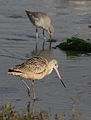 Marbled godwit, Limosa fedoa, Moss Landing (Elkhorn Slough and beach), California, USA. (30852709621).jpg