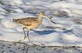 Marbled godwit, Limosa fedoa, Moss Landing (Elkhorn Slough and beach), California, USA. (30852958621).jpg