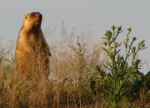Marmota bobak among the Don steppe.png