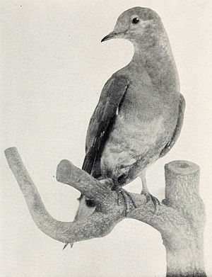 Martha (passenger pigeon) - The stuffed skin of Martha in 1921