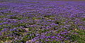 Mass display Phacelia fremontii California Valley.jpg