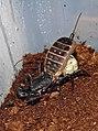 Mastigoproctus giganteus - Gravid female.jpg