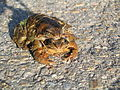 Mating Toads 2798.jpg
