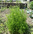 Matricaria chamomilla plant (24).jpg