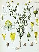 Matricaria recutita - Köhler–s Medizinal-Pflanzen-091