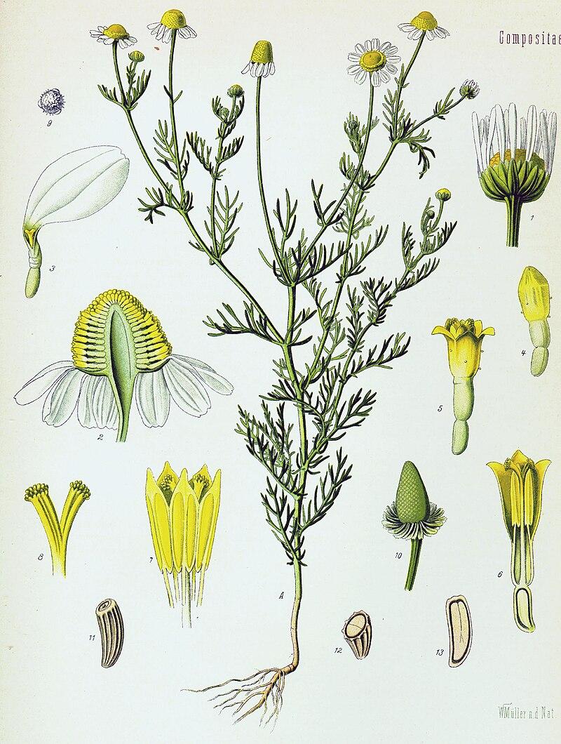 La camomilla (Matricaria chamomilla)