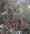 Mauritia flexuosa (19240807213).jpg