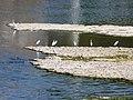 Mauzac (24) oiseaux aval barrage (1).jpg