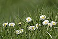 Meadow (27033856546).jpg
