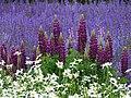 Meadow Sage at Farm Tomita - Nakafurano - Hokkaido - Japan (48006047368).jpg