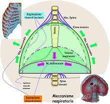 Meccanismo respiratorio
