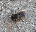 Megachile (Chalicodoma) collecting mud and pebbles for nest construction - Flickr - gailhampshire.jpg