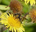 Megachilidae. - Flickr - gailhampshire (2).jpg