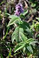 Mentha arvensis Wild Mint - მინდვის პიტნა.JPG