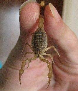 скорпион со скорпионом:
