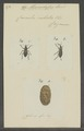 Mesocordylus - Print - Iconographia Zoologica - Special Collections University of Amsterdam - UBAINV0274 030 05 0038.tif