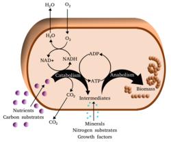 Metabolism.png