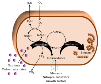 Metabolism - Simplified view of the cellular metabolism
