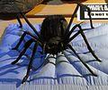 Metebelis 3 Spider (14866932488).jpg